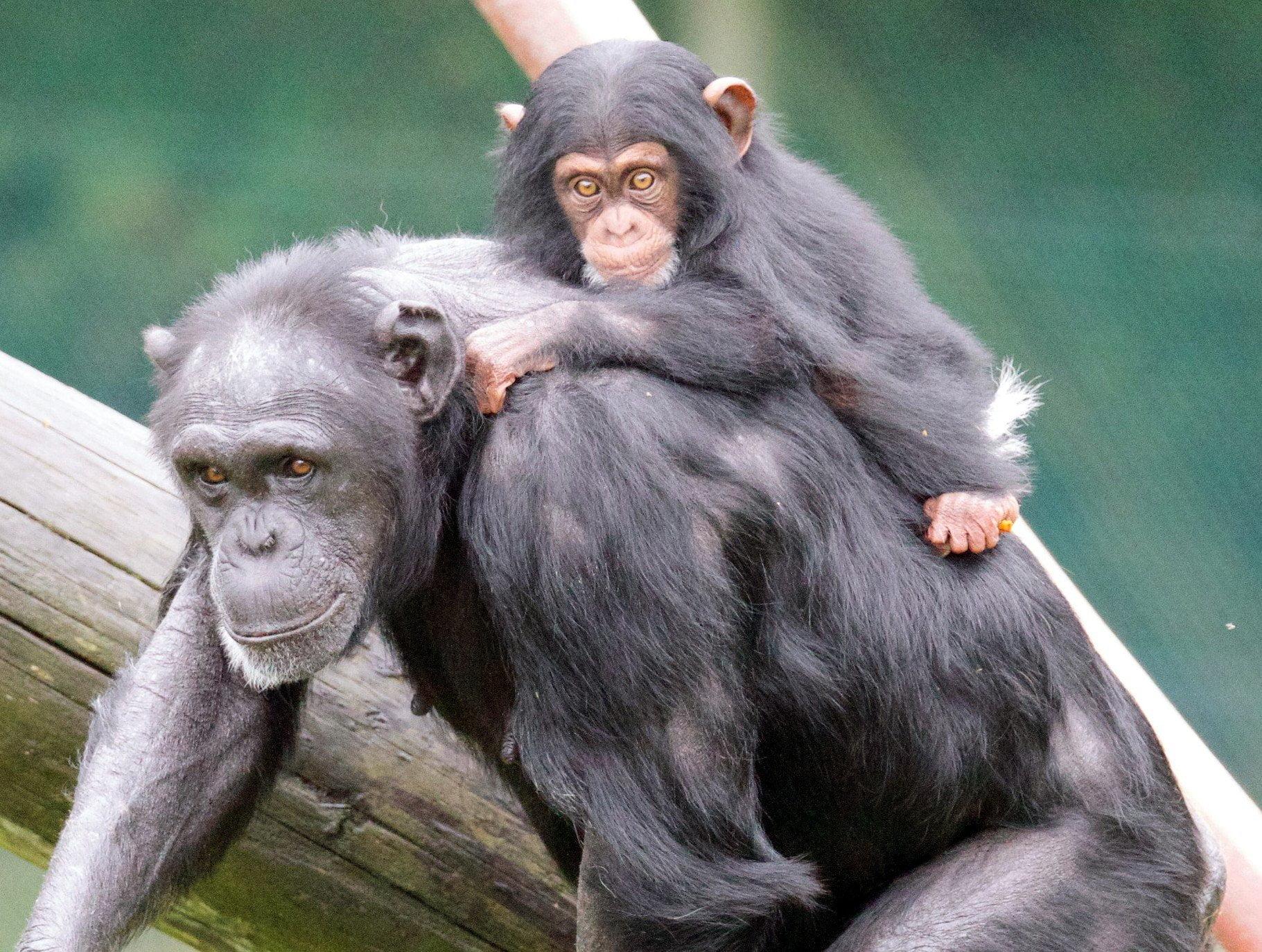 Monkey World - Ape Rescue Centre 18