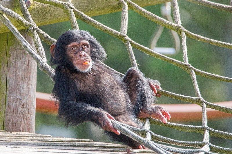 Educational Visits Uk Monkey World Ape Rescue